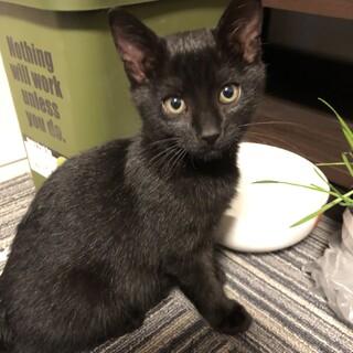生後2ヶ月の黒猫です。