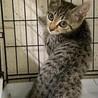 7ヶ月 シュッとしたキジ猫 しじみちゃん