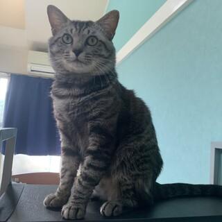 岡崎市 2歳半程のオスの猫です