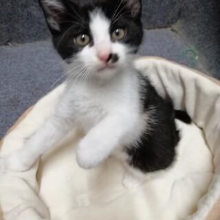 子猫 2ヶ月☆白黒/ハチワレ 甘えん坊で元気な子♪