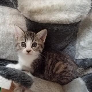 子猫 2ヶ月☆サバトラ 可愛くて元気な子♪
