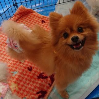 ポメラニアン4歳★ビスコちゃん 繁殖引退犬