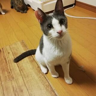 11.3藤井寺保護猫譲渡会参加猫チョロ♂リンゴ猫