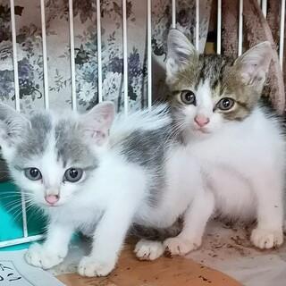 美形で柄違いの子猫兄妹生後2か月