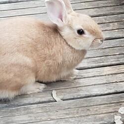 「ミニウサギ(生後5ケ月)飼いませんか」サムネイル1
