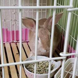「ミニウサギ(生後5ケ月)飼いませんか」サムネイル2