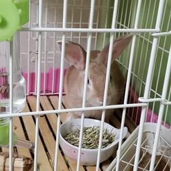 「ミニウサギ(生後5ケ月)飼いませんか」サムネイル3