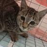 キジの子猫さん♀推定生後4ヶ月