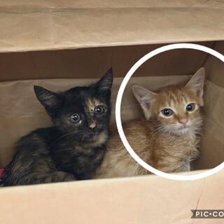 生後1ヶ月半くらい トラ柄の子猫 オス
