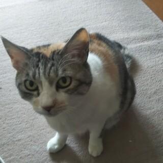 三毛猫ちゃんとても人懐っこいやさしい女の子です。