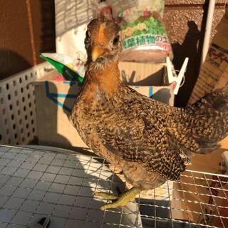 三色碁石 矮鶏 (チャボ) メス 幼鳥