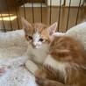 母猫と一緒に保護されたアメショ風茶白ぜんいつ君 サムネイル4