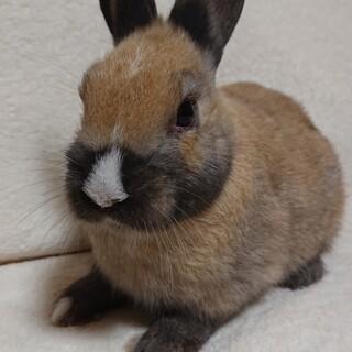 【感謝】ミニウサギの里親様決まりました。
