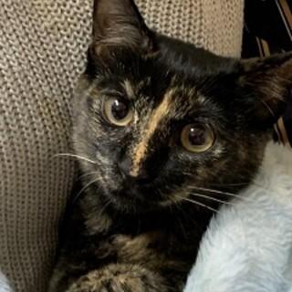 5ヶ月 人懐こいサビ猫 あさりちゃん