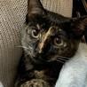1歳2ヶ月 人懐こいサビ猫 あさりちゃん