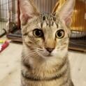 【里親さま決定】呼ぶと肩に乗る猫♡アリス♡