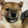 柴犬ミックスの子犬