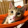 【里親決定】マロ眉が可愛いシマ三毛の子猫ちゃん!