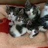 5匹の可愛い子猫ちゃんの里親さん募集です