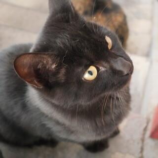 生後半年程度 黒猫(オス)
