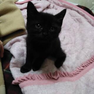 可愛い黒猫ちゃん、男の子