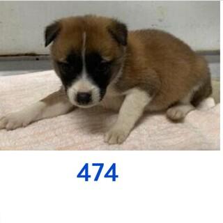 たくさんの子犬が収容されています。474〜478