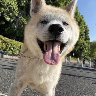 とっても穏やか、大きな身体で甘ったれの秋田犬りゅう