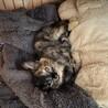人懐っこい仔猫の女の子生後1ヶ月