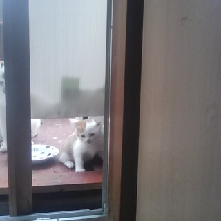 白と茶色の子猫の里親募集です。