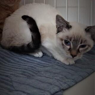 きれいな青い目の仔猫。元気な美人猫姉妹‼