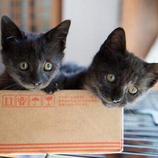 とても元気な。生後三ヶ月の黒猫、女の子2匹です。