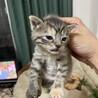 生後2カ月のマンチカンの子猫