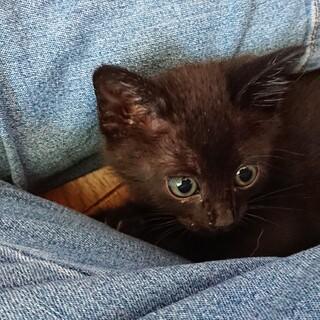 黒猫シェドちゃん里親さん募集