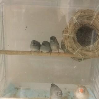 キンカチョウ ヒナ鳥