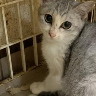 5ヶ月 白グレー猫 エルちゃん
