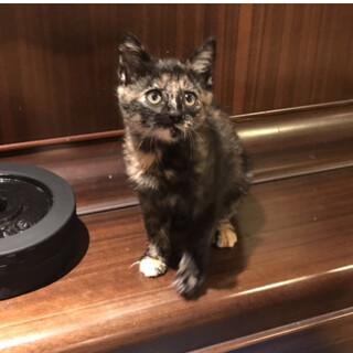 生後2ケ月のかわいいサビ猫です