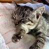 寝顔が可愛い鯖トラ柄の男の子 サムネイル2