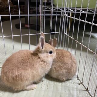 ウサギ、ネザーランド子ウサギ