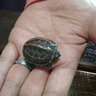 クサガメ子亀が生まれました!里親募集します