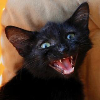 ★ふわふわ中毛の黒猫ちゃん