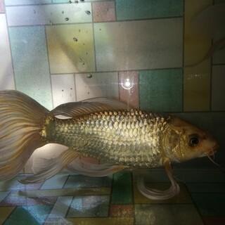 ヒレナガ鯉 ヒレ長鯉« 交渉中»