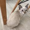 ☆ブルーアイの子猫!シャム系の銀♀☆
