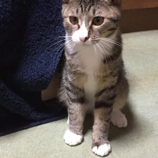 モモくん♂靴下をはいたスリゴロな子猫ちゃん