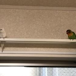 放鳥時にカーテンレールの上に行ってしまう