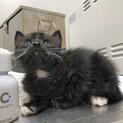 クマみたいな子猫ちゃん♂生後1ヶ月半ほど