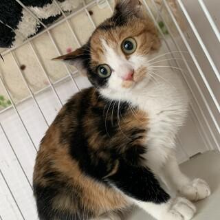 【小平市】可愛い三毛猫の楓ちゃん