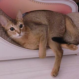 【お渡し予定有り】遊び好き  美猫 アビシニアン