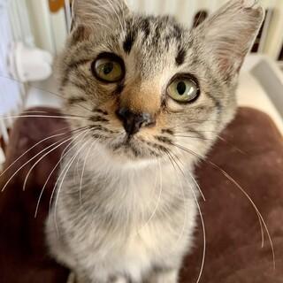 ゴロスリ優しいキジ猫、チコリータ