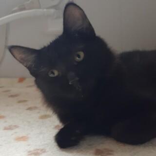 フワフワしっぽの半長毛黒猫女の子 元気いっぱい!