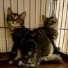 【11/28芝浦】長毛&アメショー風仲良し美猫兄妹